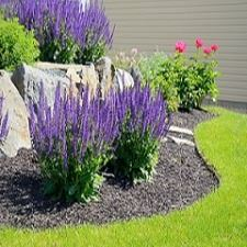 Landscape purple salvia short